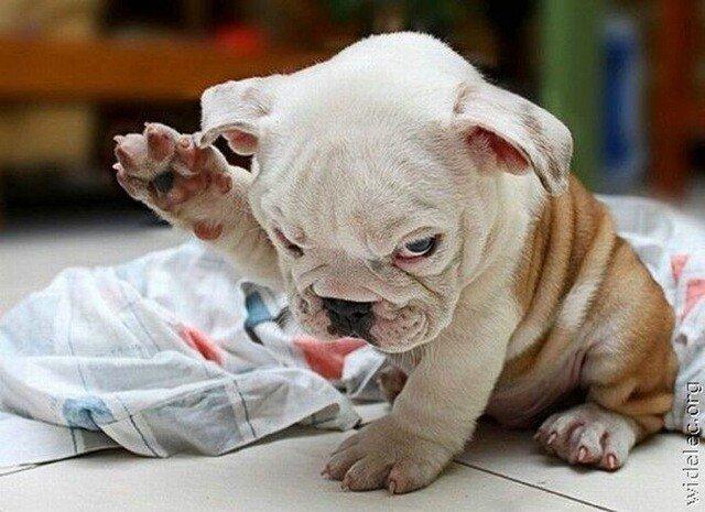 bully pup.jpeg