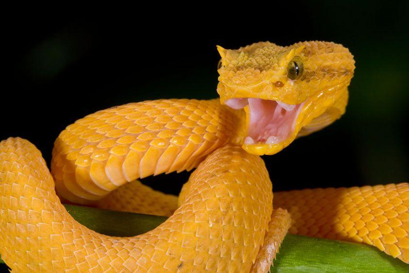 Eyelash-Viper-Fangs.jpg