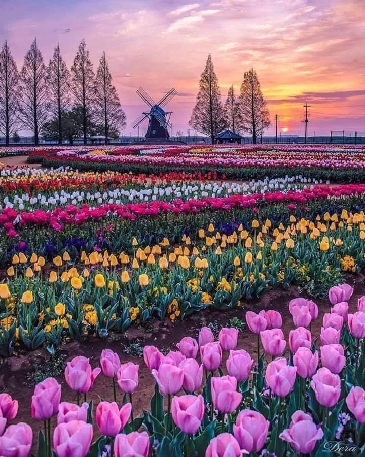 tulips windmill.jpeg