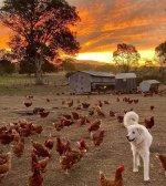 pyrenees chickens.jpeg