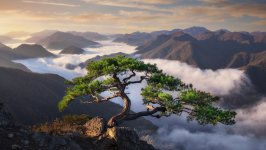 korean pine.jpeg