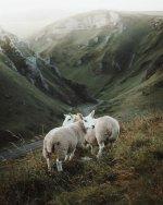 mtn sheep.jpeg