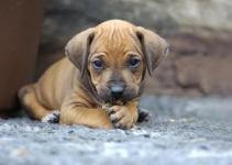 ridgeback pup.png