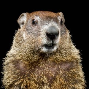 groundhog_thumb.ngsversion.1484690405320.adapt.1900.1.jpeg